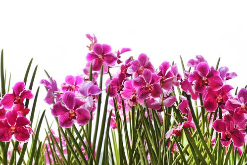 Le specie di orchidee più facili da coltivare